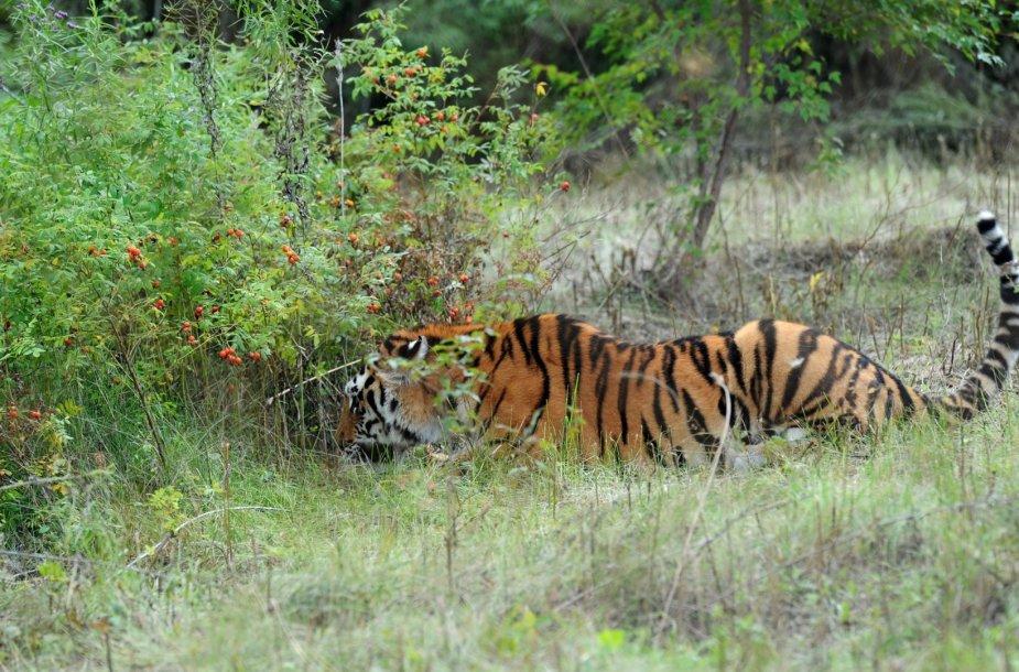 Tigras Ustinas