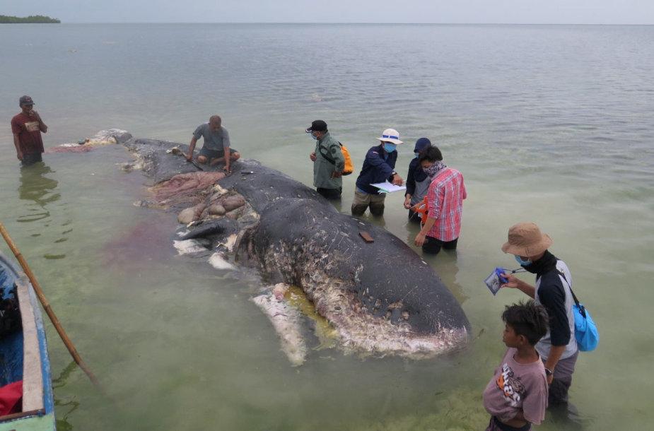 Nugaišusio banginio skrandyje rastas didelis kiekis plastiko
