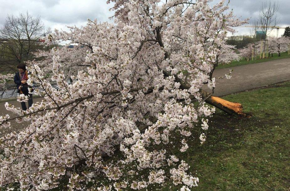Sakurų parke – japonų turistų ašaros: Velykų rytą medžius čia išvartė šiukšliavežė