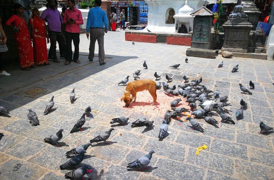 Svajambunato šventyklų Katmandu svečiai