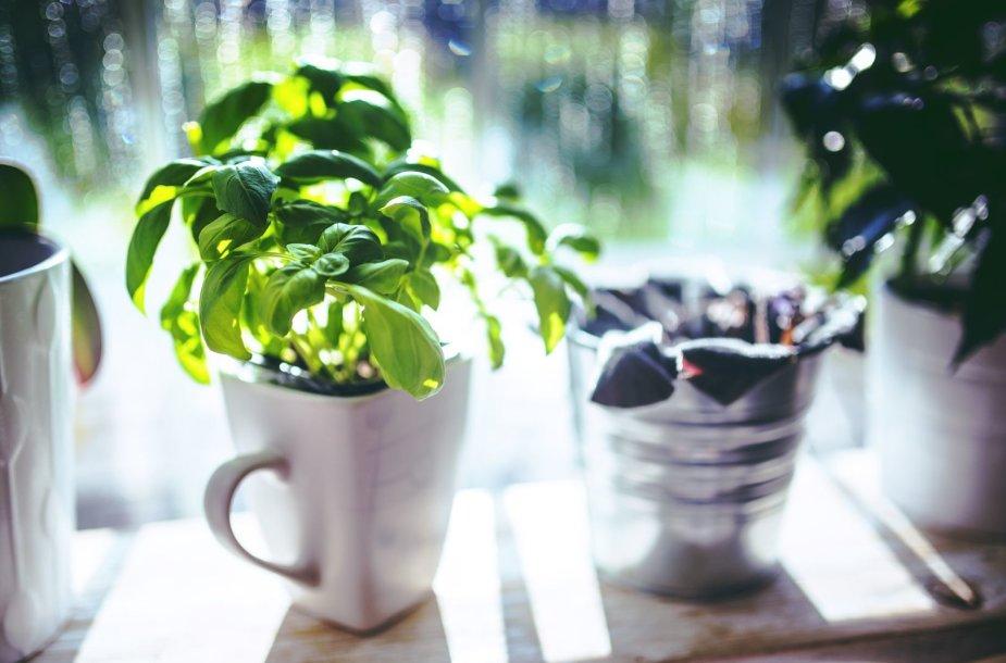 Daržas ant palangės – ką ir kaip auginti?