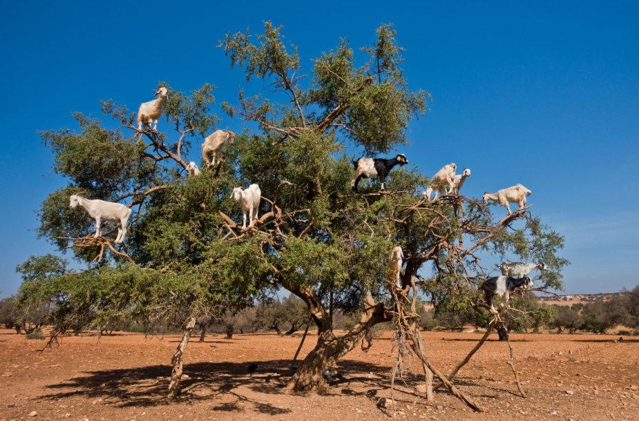 Ožkos ant argano medžio