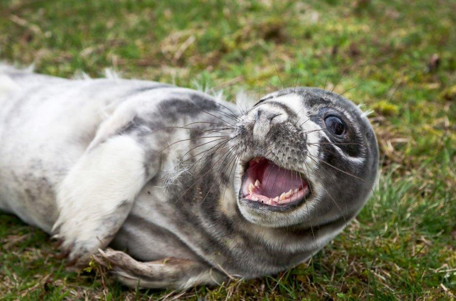 Jūrų muziejus šį pavasarį jau priėmė du ruonių pamestinukus.