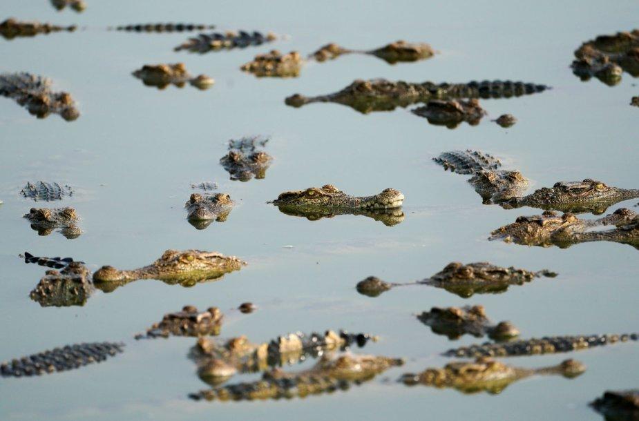Krokodilų ferma Tailande