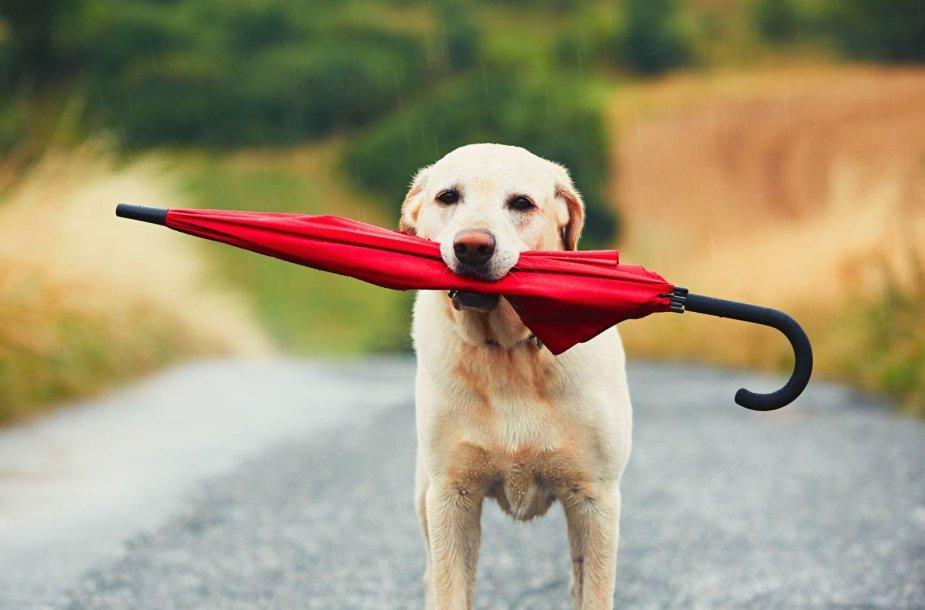 Šuo lietui lyjant