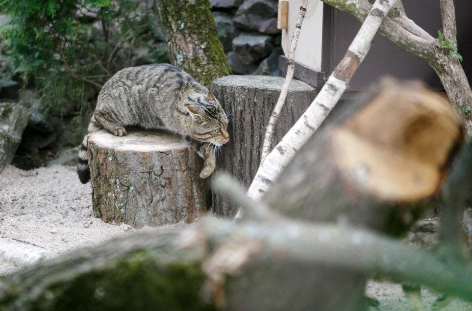 Miškinė katė