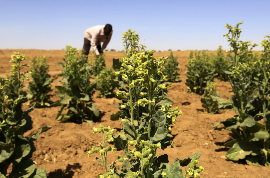 Tabako plantacija