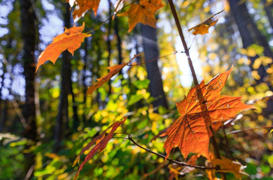 Pūčkorių atodanga nusispalvino rudeninėmis spalvomis