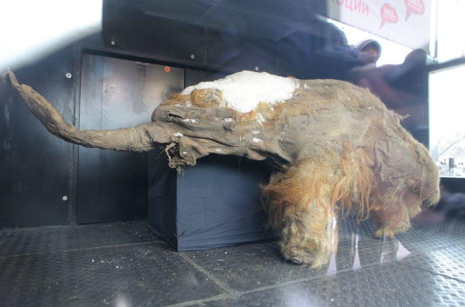Mamuto jauniklio kūnas meno muziejuje, Maskvoje.