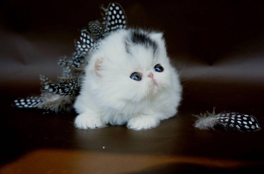 Egzoto veislės kačiukas
