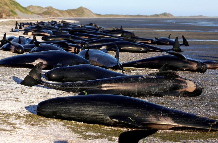 Ant kranto įstrigę delfinai N.Zelandijoje