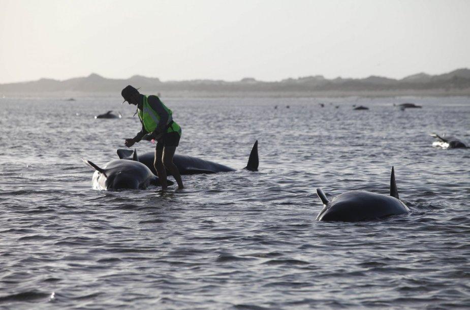 Naujojoje Zelandijoje ant seklumos užplaukė bangininiai delfinai