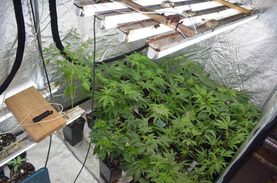 Aptikta kanapių auginimo laboratorija