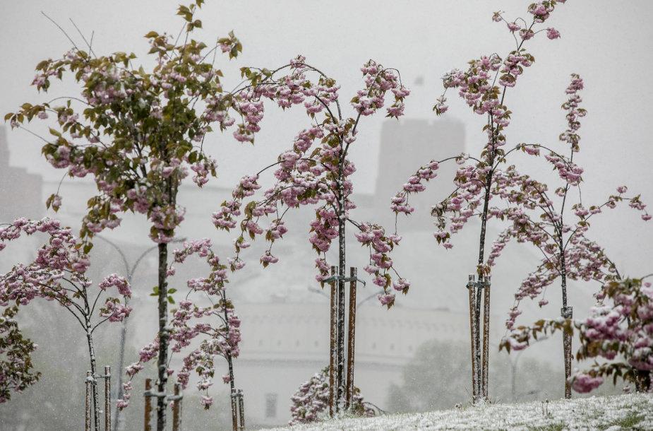 Netikėtas pavasarinis sniegas