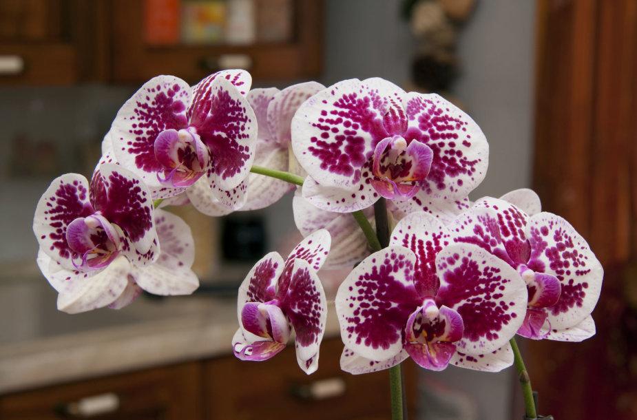 Orchidėjos.