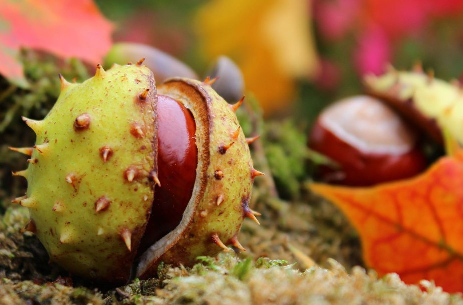 Kaštonų vaisiai