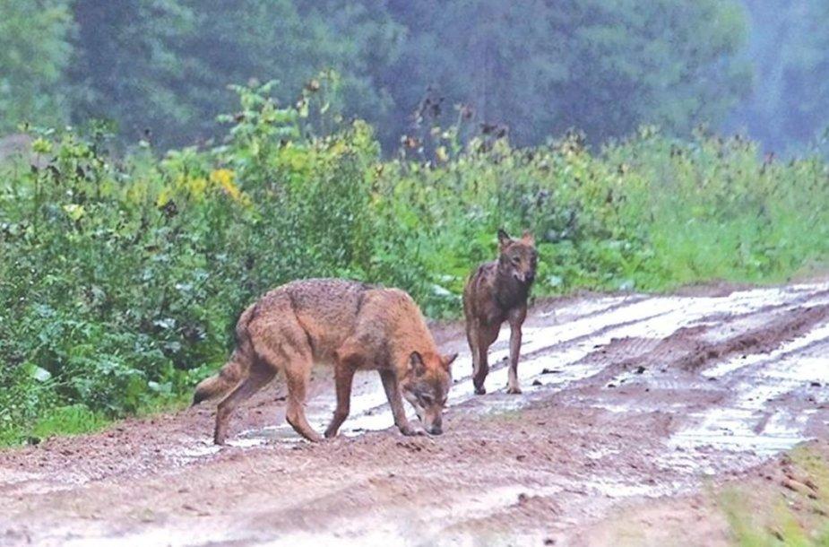 Medžiotojai teigia, kad vienišo vilko medžioklė bus varginanti ir sunki, tačiau tokį vilką pašalinti iš gamtos jiems privalu.