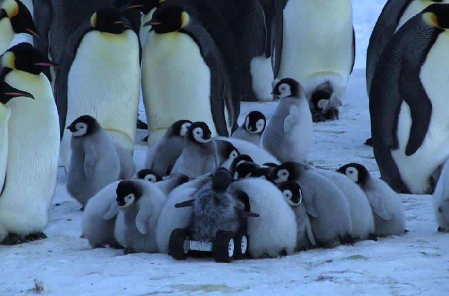 Pingvinas-šnipas glaudžiasi prie gyvūnų