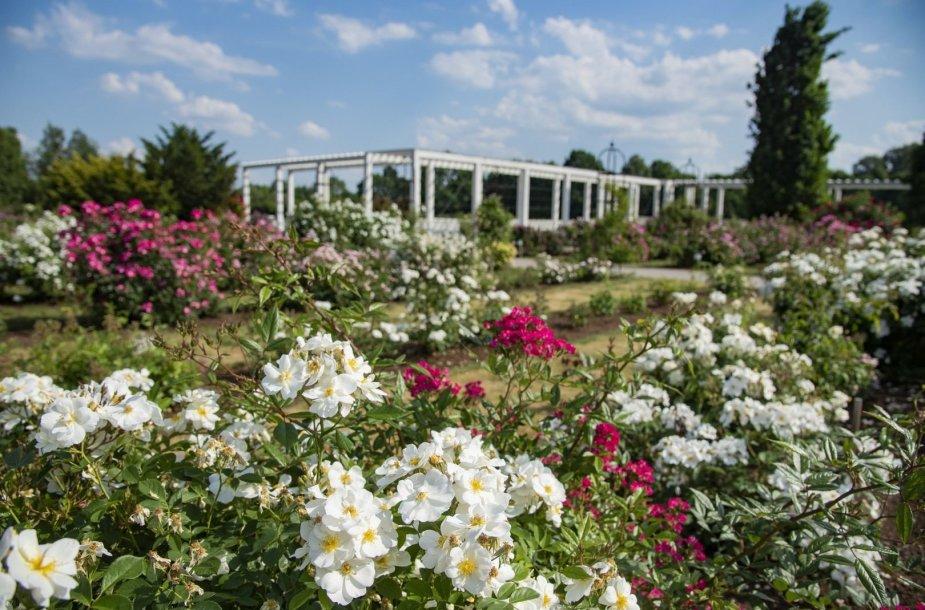 VDU botanikos sodo rožynas