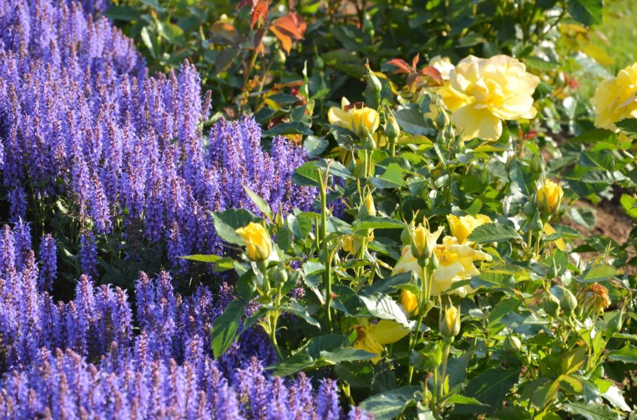 Rožynas. Rožė 'Friesia' su Šiliniu šalaviju Salvia nemorosa 'Blauhugel'
