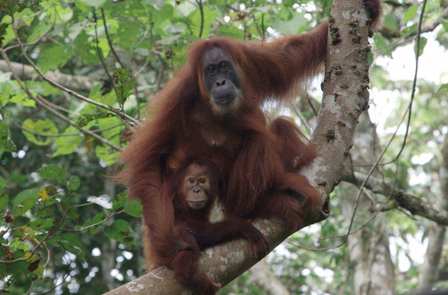 Orangutanas su jaunikliu