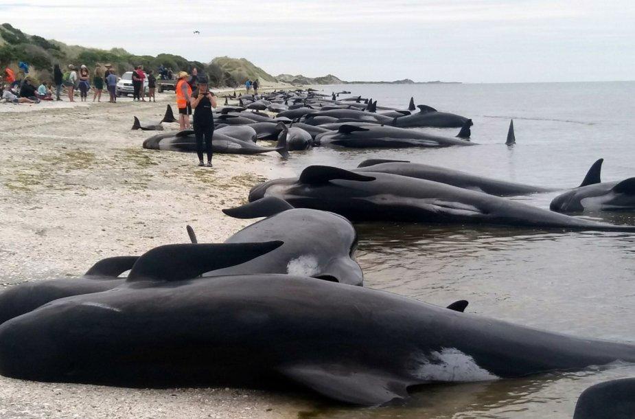 Naujojoje Zelandijoje į krantą išmesta šimtai negyvų delfinų