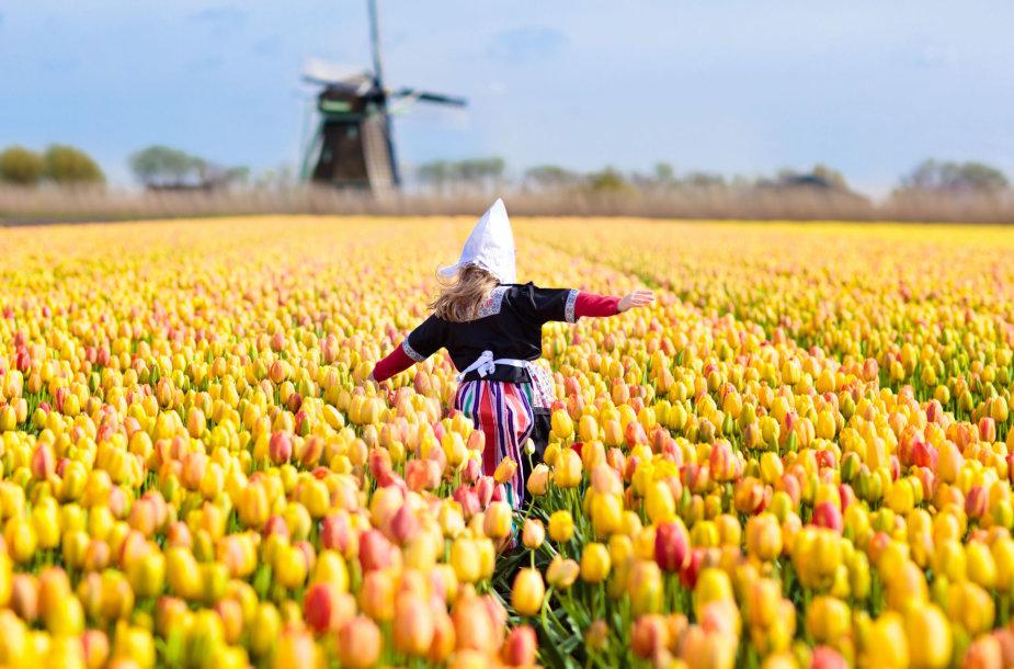 Tulpės Nyderlanduose