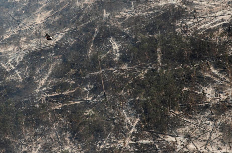 Virš išdegintų Amazonės džiunglių skrendantis vanagas vietos savo lizdui turės ieškotis kažkur kitur