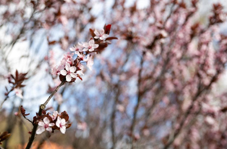 Vilniuje pražydę pavasariniai žiedai