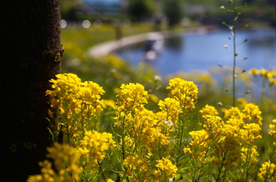 Gėlėmis pražydusi Vilniaus Neries pakrantė
