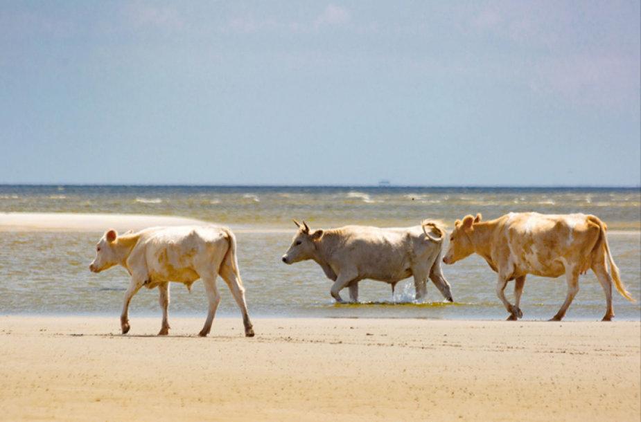 Karvės prieš uraganą Dorian