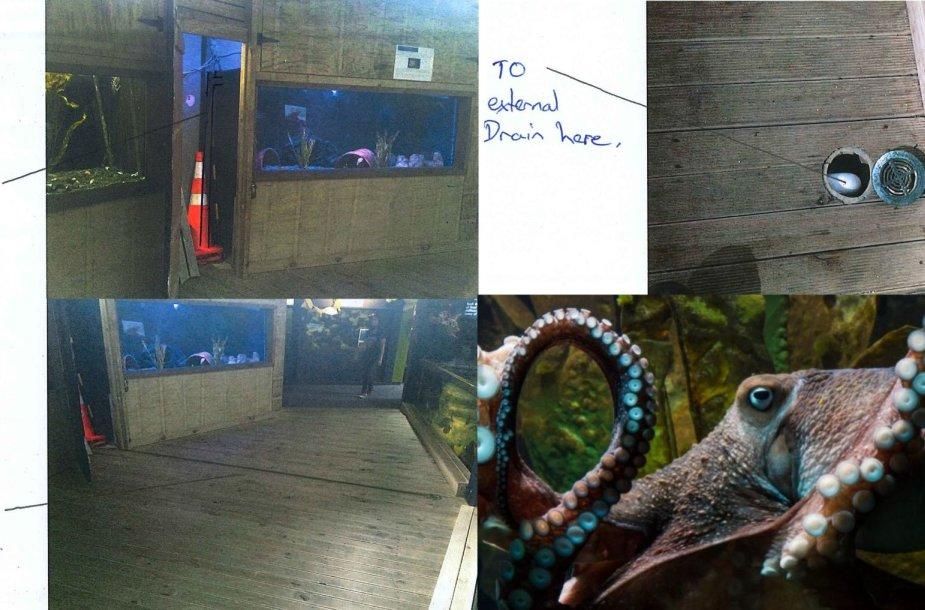 Aštuonkojis Inky įspūdingai paspruko iš akvariumo Naujojoje Zelandijoje