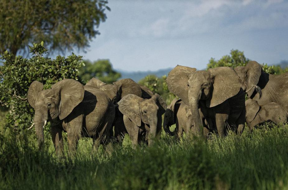 Tanzanijoje dedamos pastangos apsaugoti dramblius
