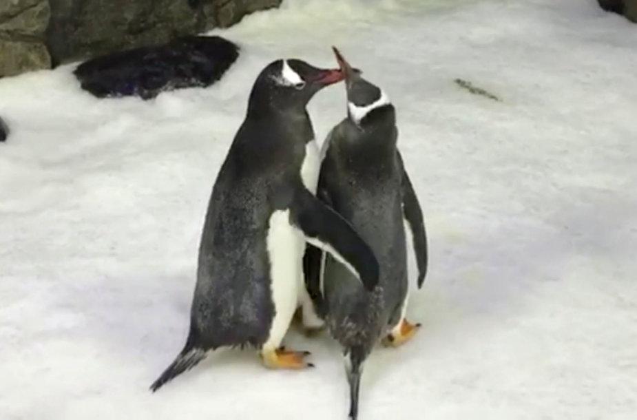 Pingvinų pora Sfenas ir Medžikas