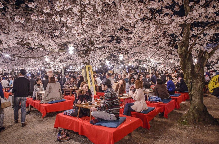 Kiote žydinčios sakuros sutraukia minias japonų ir turistų