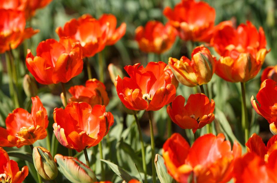 Tulpės botanikos sode