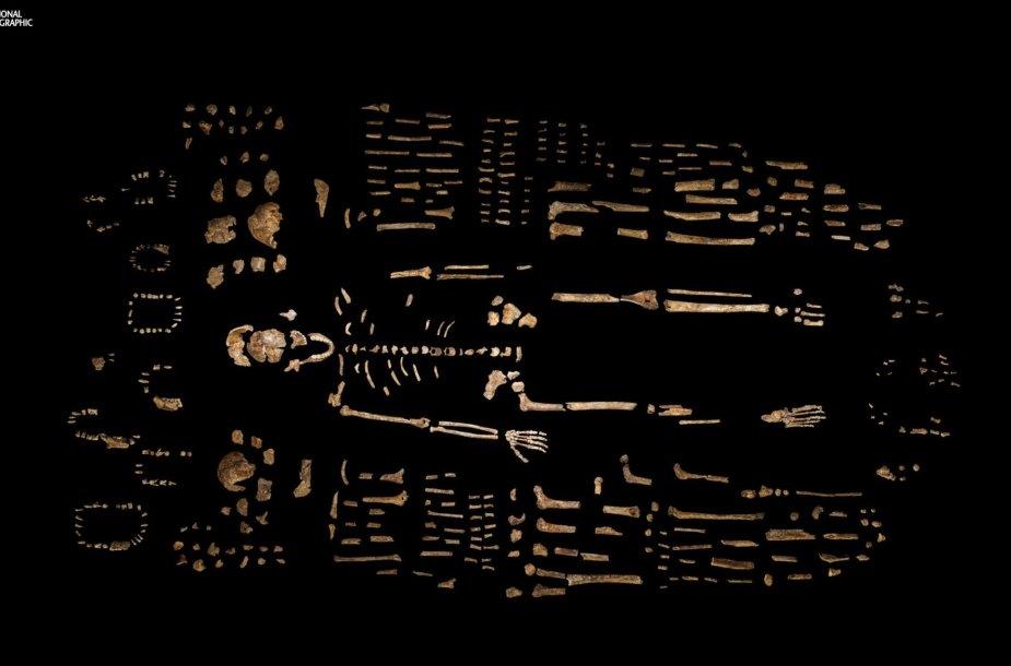 Manoma, kad šie palaikai priklausė žmogaus protėvių rūšiai, pavadinimu naledi