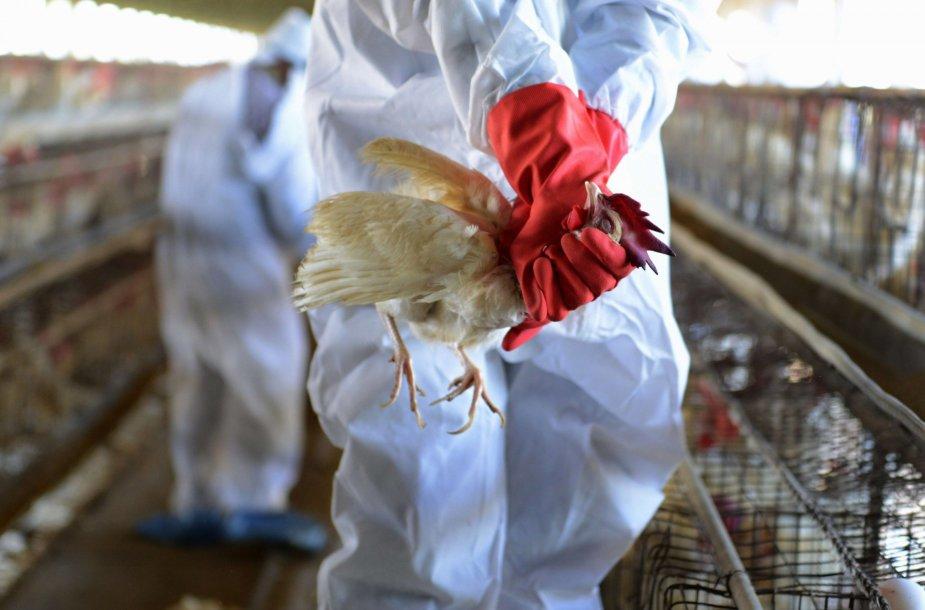 Indijos vištų fermoje aptiktas paukščių gripo virusas.