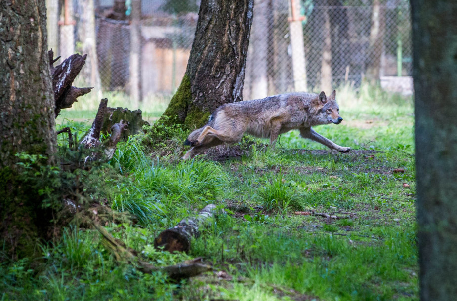 Vilkas – vienas garsiausių Žvėrinčiaus gyventojų.