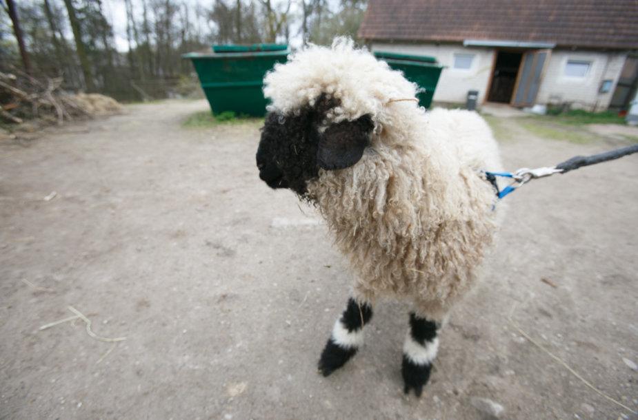 Kamerūno avis