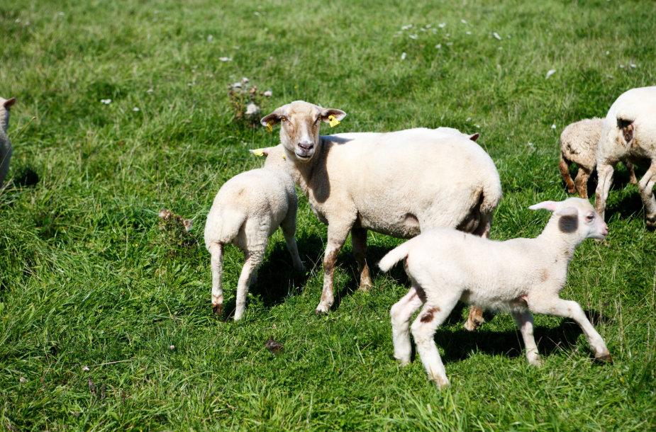 Avių ūkyje