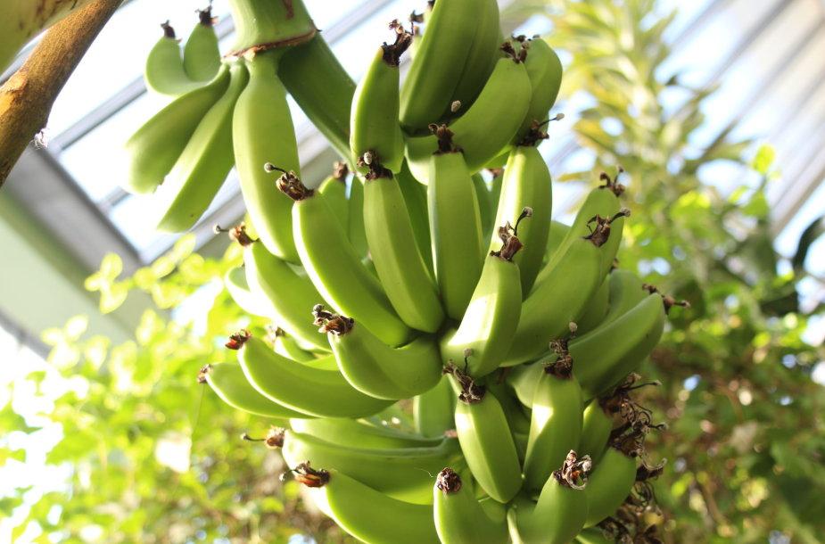 Kretingos muziejaus Žiemos sode ėmė nokti bananai.