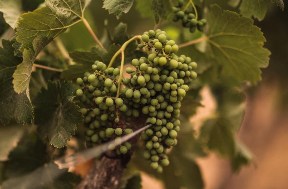Vynuogynas Egipte