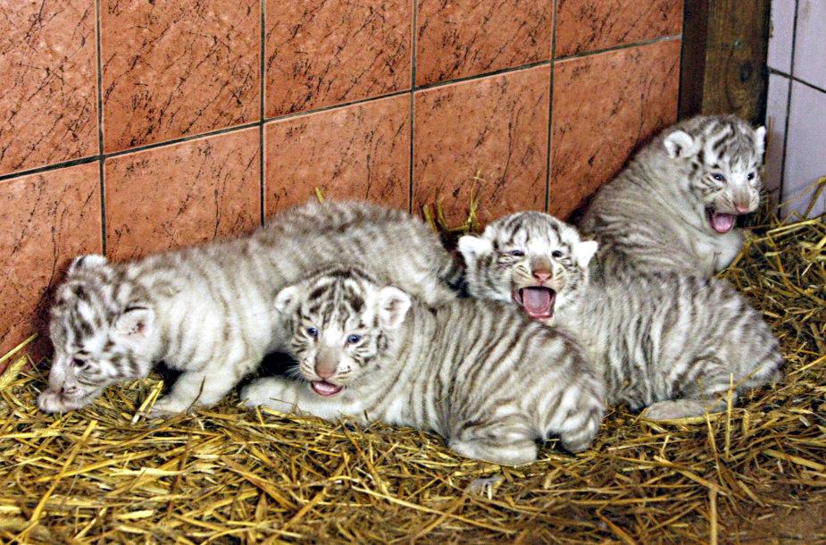 Baltosios tigrės Jūratės mažyliai