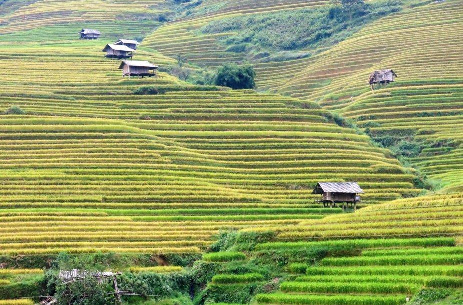 Ryžių terasos Mu Cang Chai regione Vietname