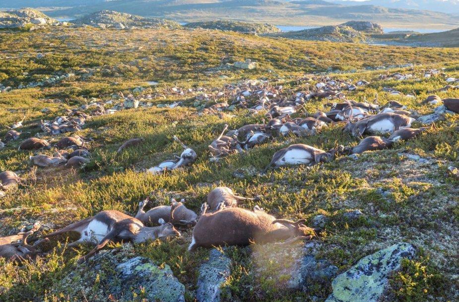 Žaibo smūgio užmušti šiaurės elniai