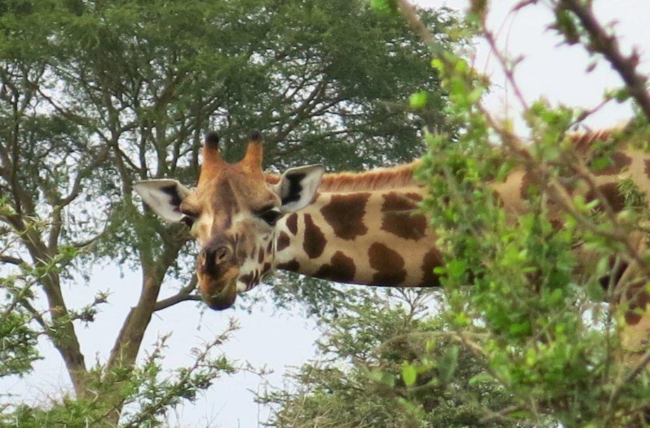 Į Ugandą paprastai vykstama dėl gamtos ir ten esančios gyvūnijos