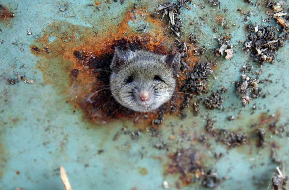 Žiurkė Niujorke