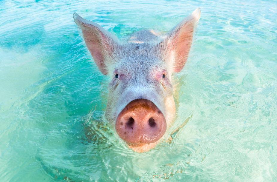 Plaukianti kiaulė