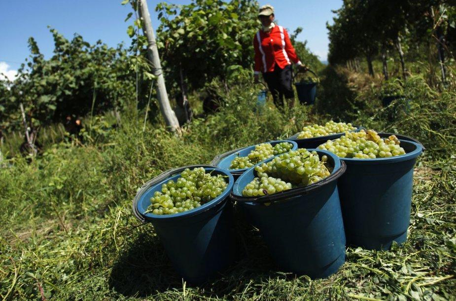 Vynuogių derlius Gruzijoje